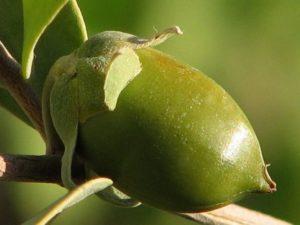 Плод жожоба на дереве
